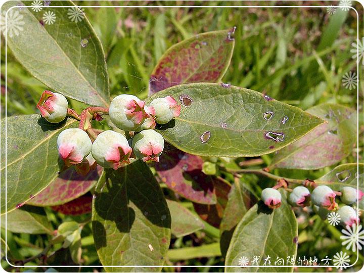 小藍莓.jpg
