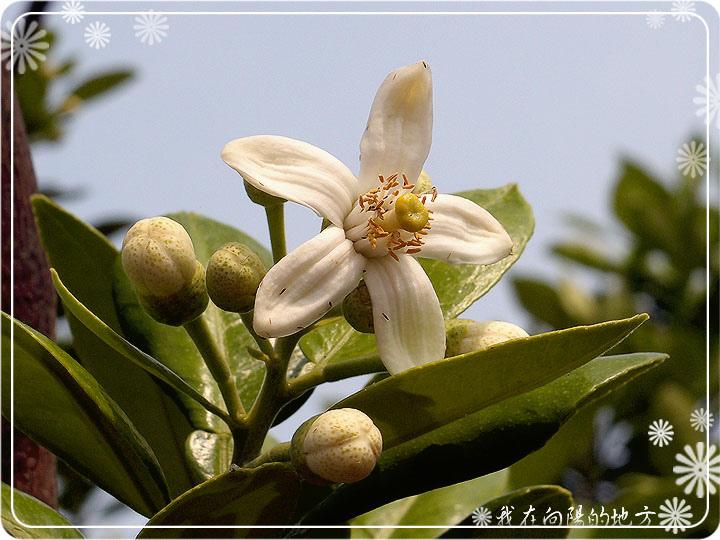 白柚花.jpg