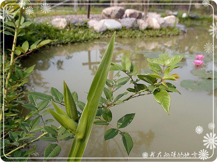 插枝繁殖的玫瑰_1.jpg