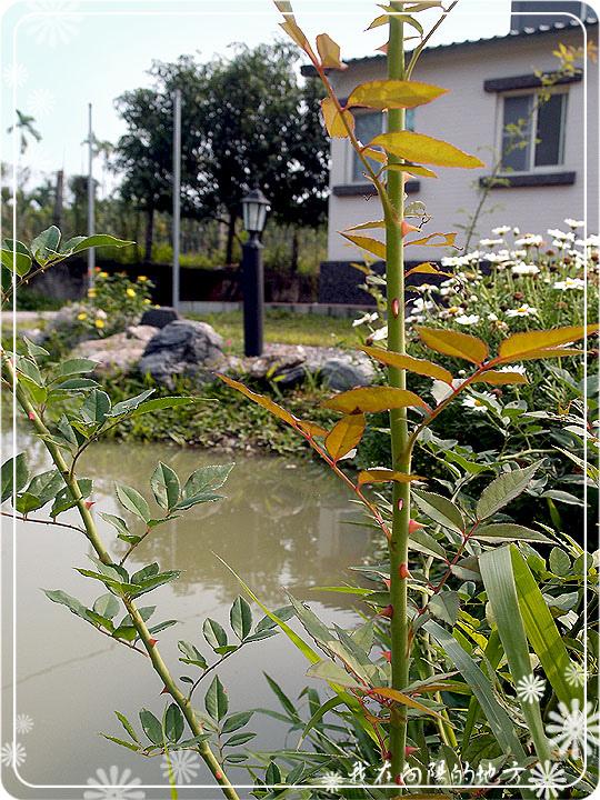 插枝繁殖的玫瑰.jpg