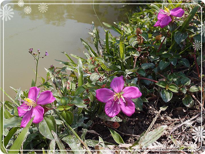 紫鶴花.jpg