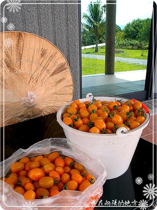 橙蜜蕃茄收成.jpg