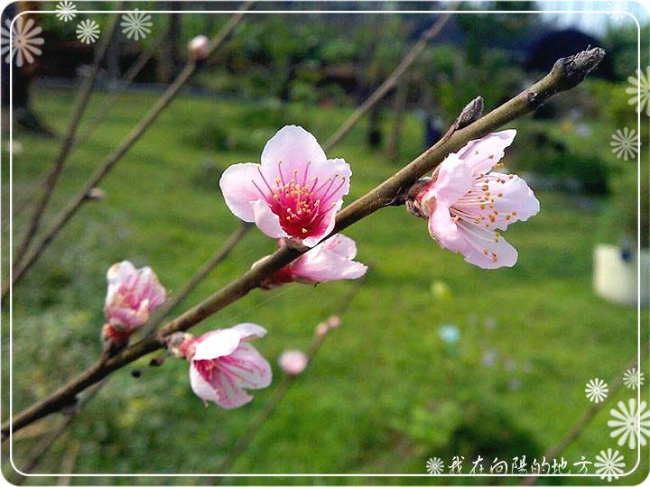 桃花開了_0.jpg