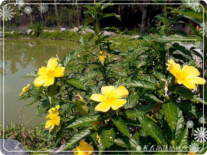 黃鐘花.jpg