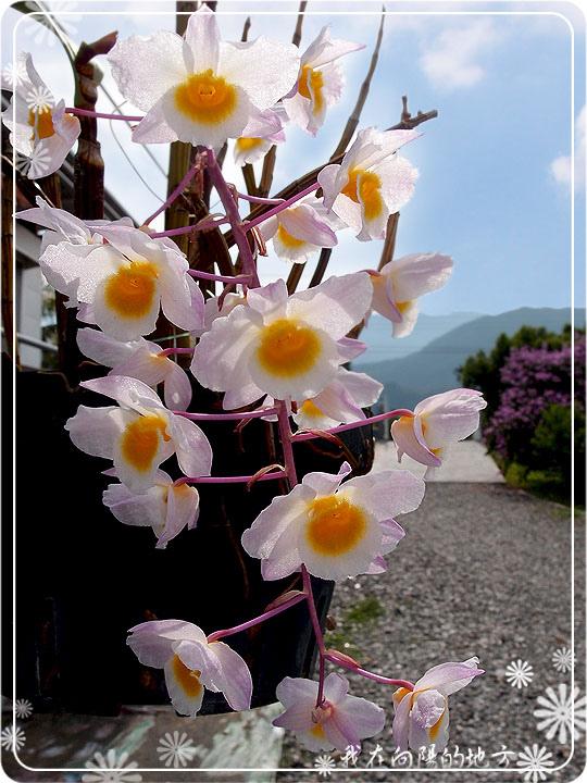 可愛的小品蘭花