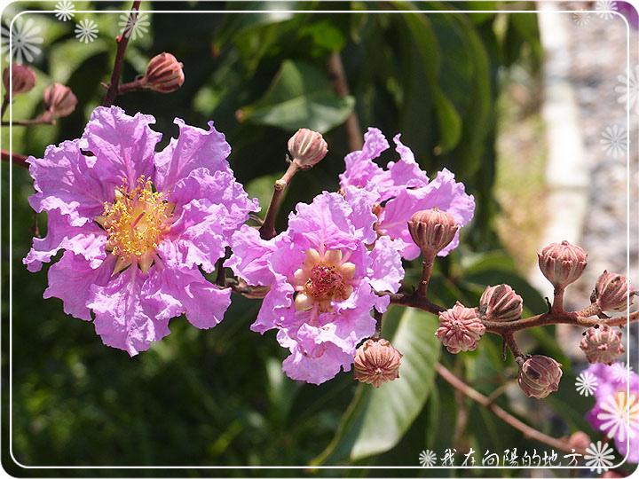 大花紫薇_1.jpg