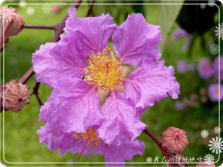 大花紫薇_2.jpg