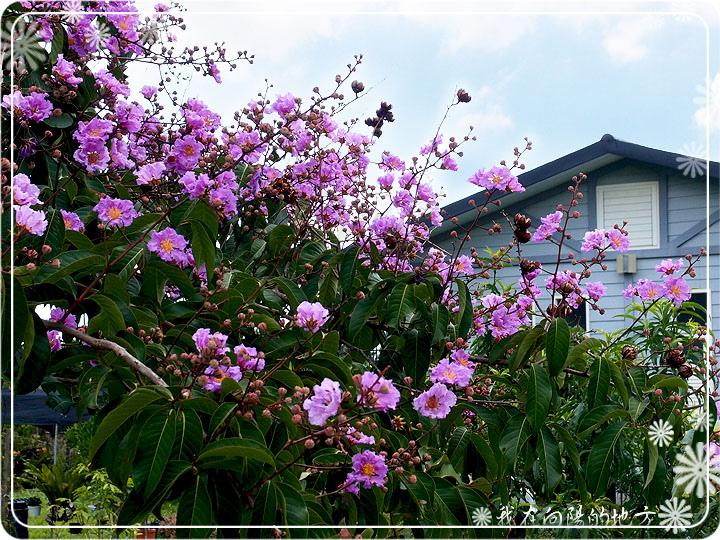 大花紫薇_3.jpg