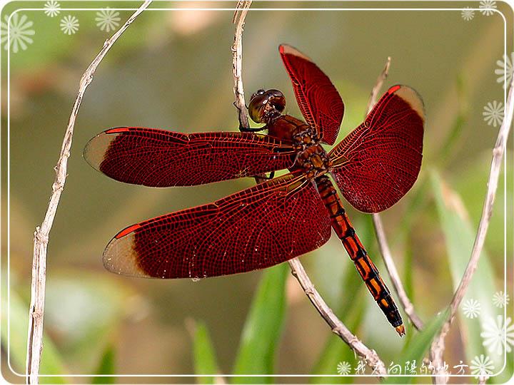 紅蜻蜓_1.jpg