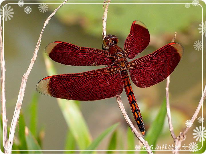 紅蜻蜓.jpg