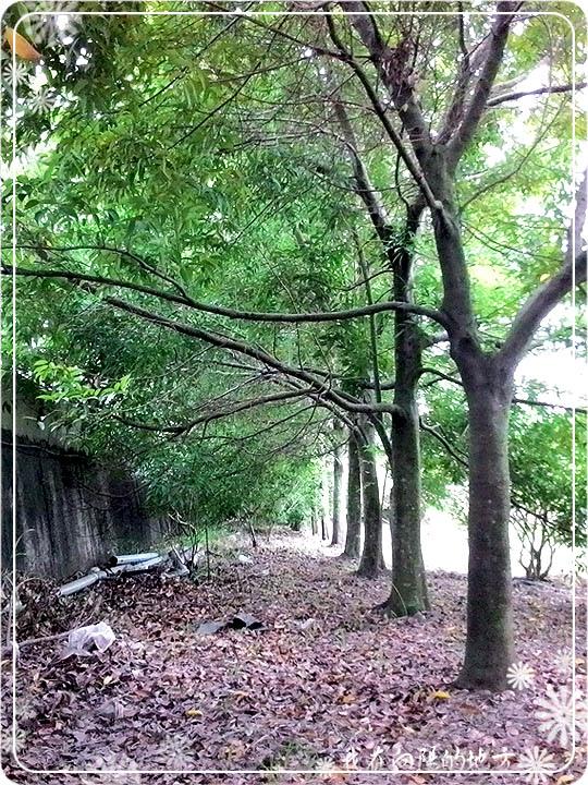 整排的圍籬樹.jpg
