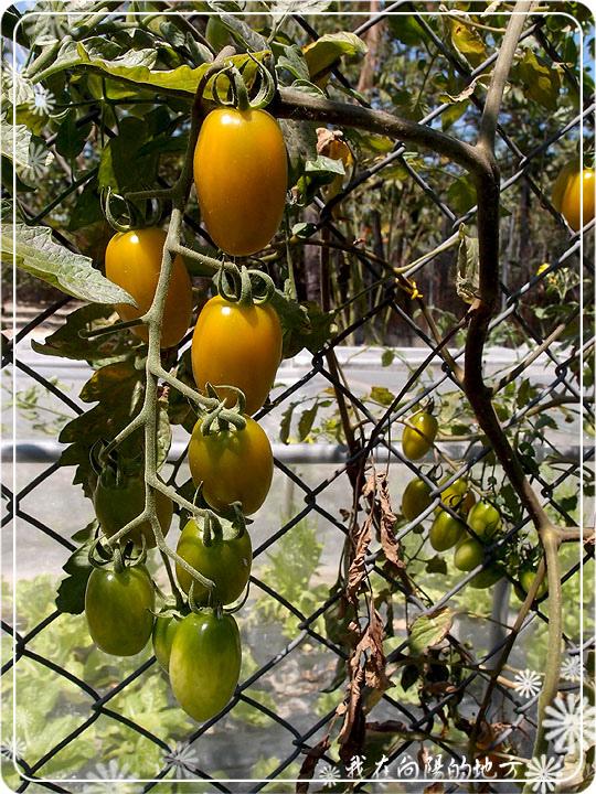 今年僅有的番茄_1.jpg