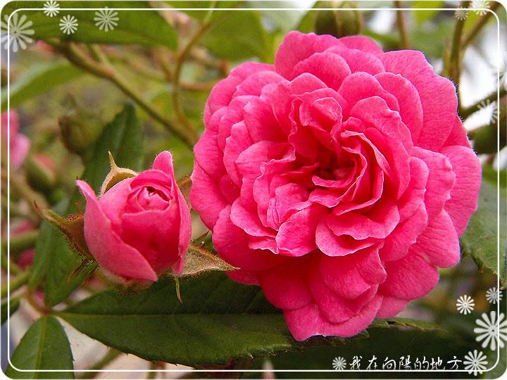 玫瑰拱門緩慢成形中_2.jpg