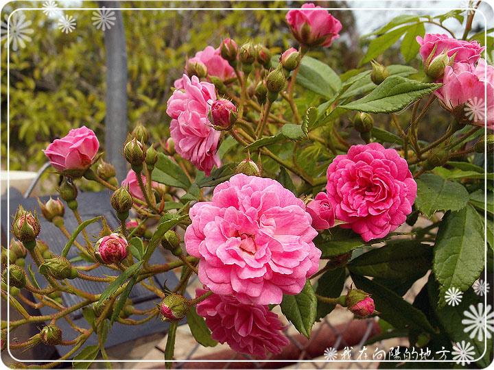 玫瑰拱門緩慢成形中_3.jpg