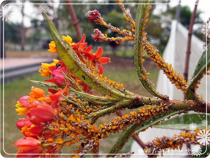 黃色蚜蟲_1.jpg