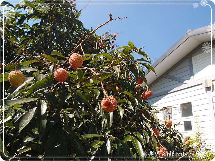 荔枝紅了_2.jpg
