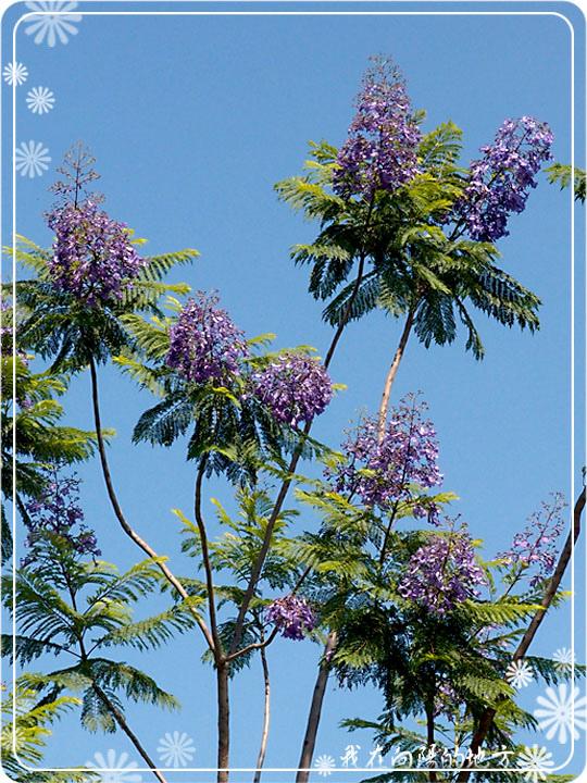 藍花楹花朵_2.jpg