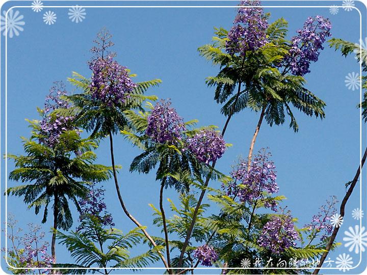 藍花楹花朵_1.jpg