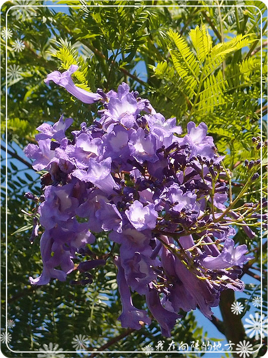 藍花楹花朵.jpg