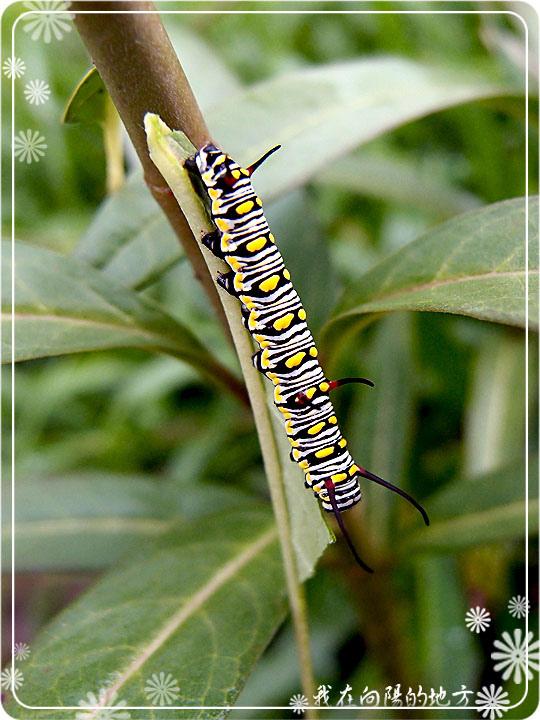 樺斑蝶幼蟲.jpg