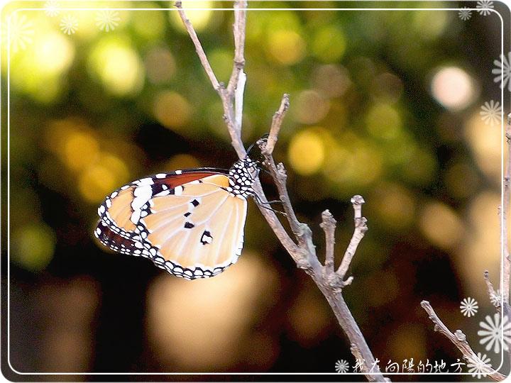樺斑蝶_1.jpg