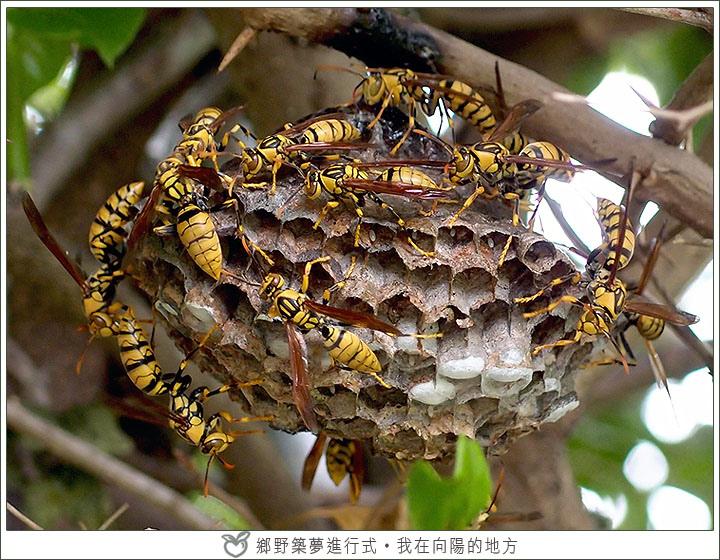 大黃蜂.jpg