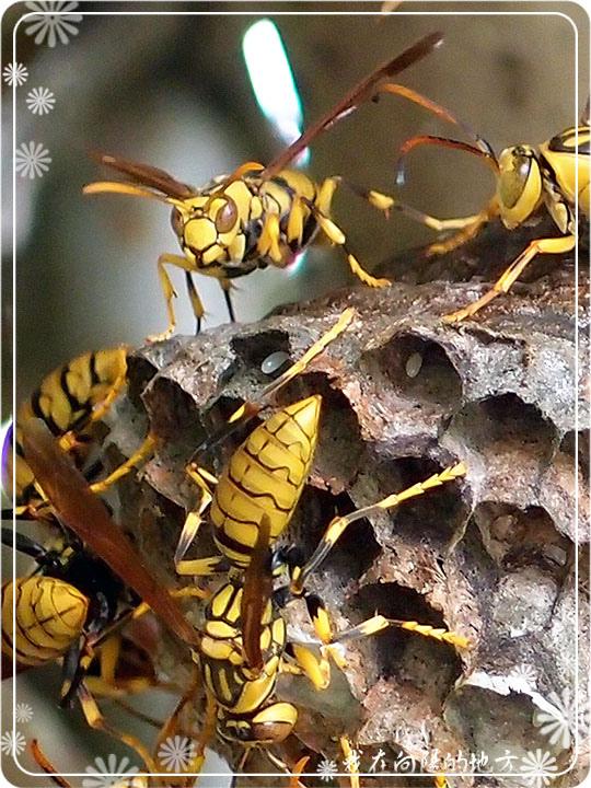 大黃蜂_3.jpg