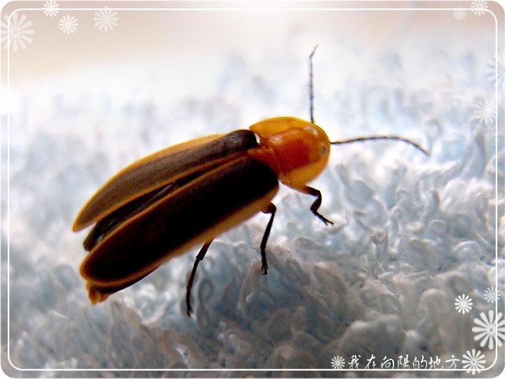 飛入屋內的螢火蟲.jpg