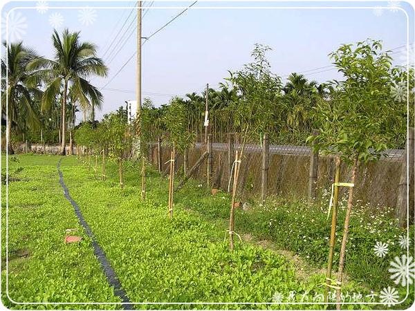 路邊種一排土肉桂當綠籬.jpg