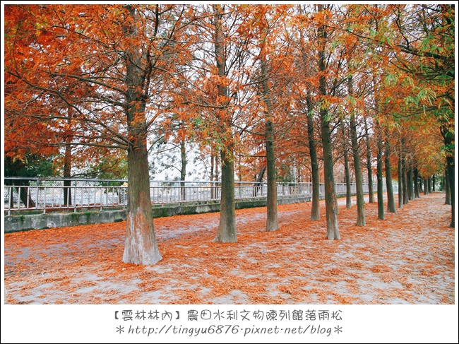 雲林林內落雨松01.JPG