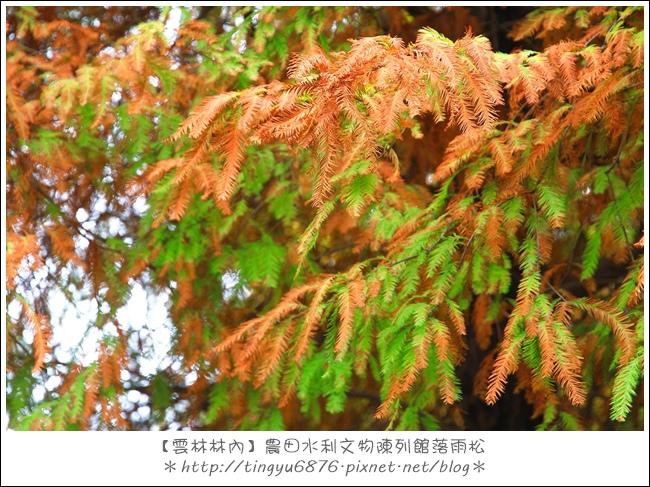 雲林林內落雨松12.JPG