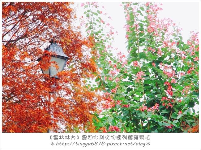 雲林林內落雨松33.JPG
