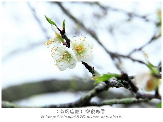 柳家梅園15.JPG