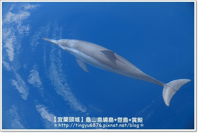 龜山島賞鯨47.JPG