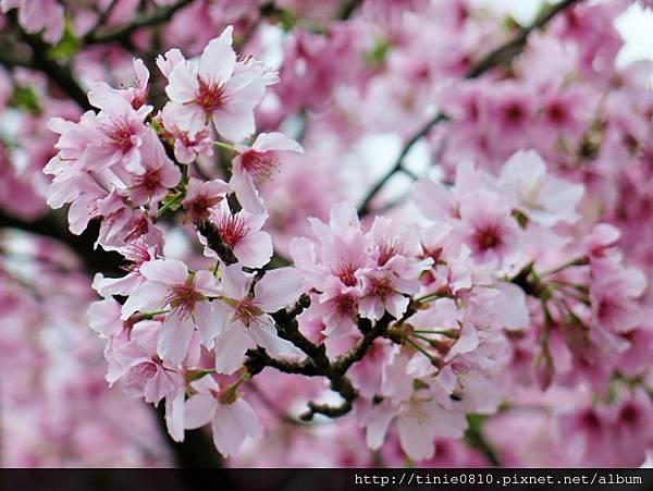 陽明山櫻花4.JPG