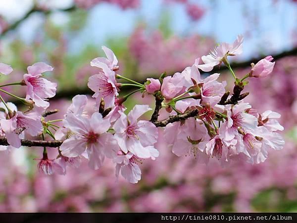 陽明山櫻花15.JPG