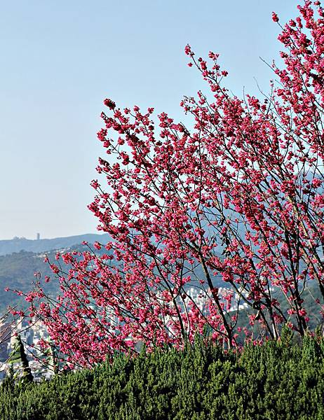 林語堂,陽明山,故居,櫻花