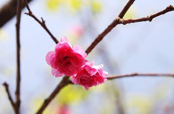 三芝,櫻花步道,群櫻紛飛慢步行,三芝三生步道