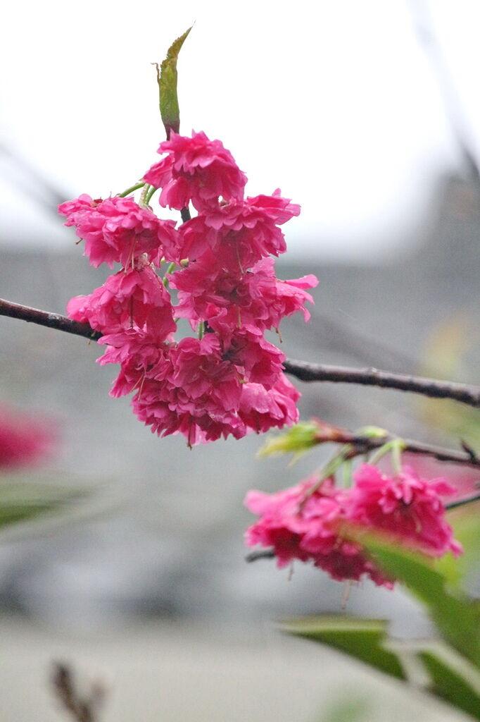 亞尼克夢想村1號店 ,陽明山美軍宿舍群,陽明山花季,櫻花季,杜鵑花季,草莓派,