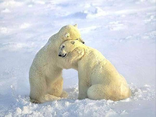 北極熊抱抱