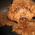 布丁.真的很可愛呢..我想養狗啦..