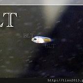 小丑魚苗8.JPG