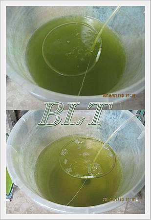 餵濃縮藻1.jpg