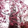 武陵農場櫻花季