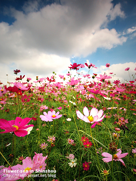 Flower-sea in Shinshou
