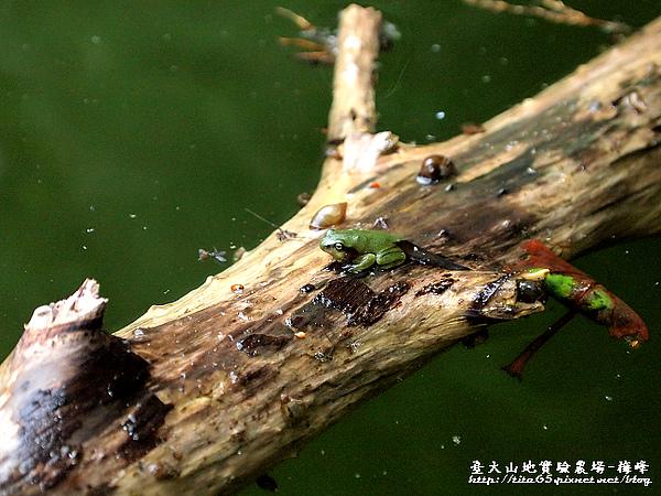 到處可見的莫氏樹蛙