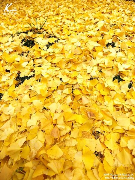 滿地的銀杏葉