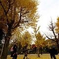 滿是銀杏樹的小公園
