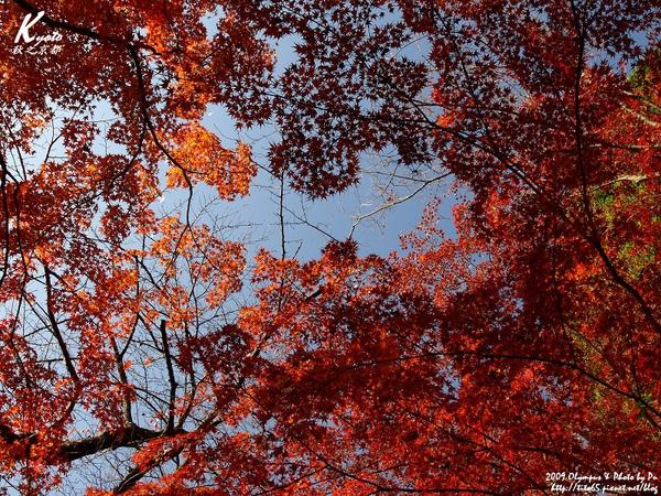 前往大山崎山莊美術館~路上到處都是火紅的楓葉
