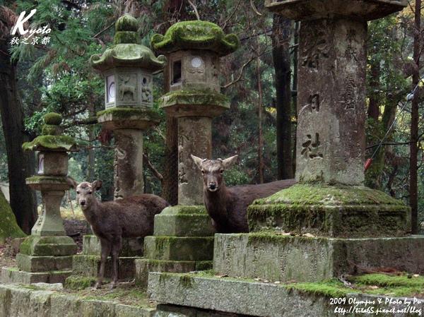 春日大社與鹿